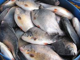 Tilapia Fish Farming Guide & Profitable Business Plan