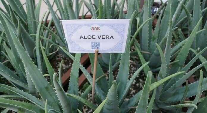 aloe vera business plan