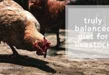 balanced diet for livestock